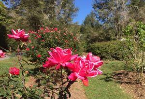 Griffing rose garden 81942d96 94c1 428f bda6 49e706b36bd3